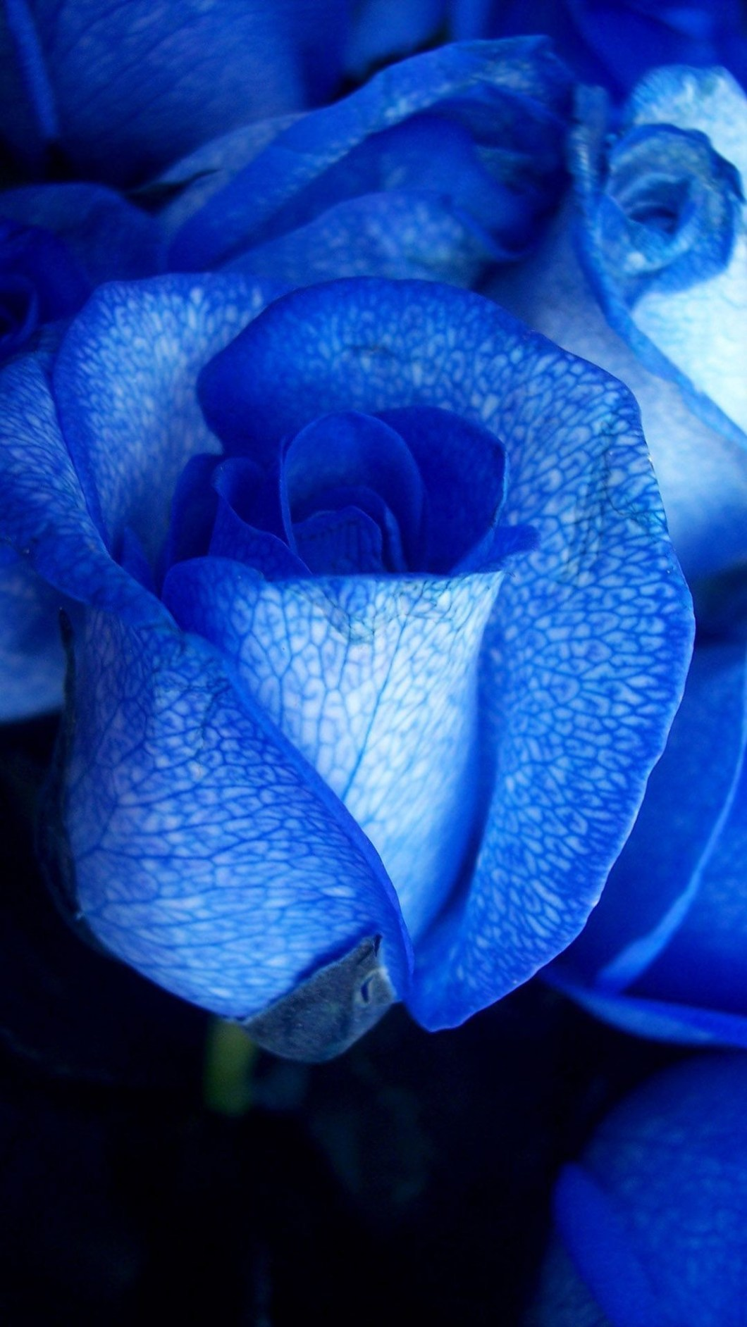 blue rose hd wallpapers for mobile - drive.cheapusedmotorhome