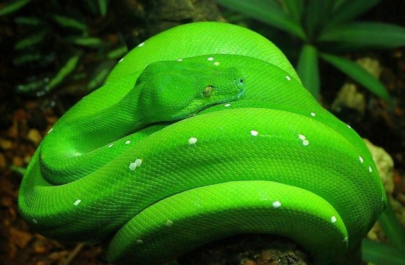 Download The Free Green Snake Wallpapera