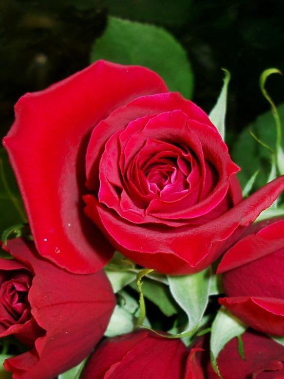 Rose Flowers Pictures Rose Desktop Wallpaper
