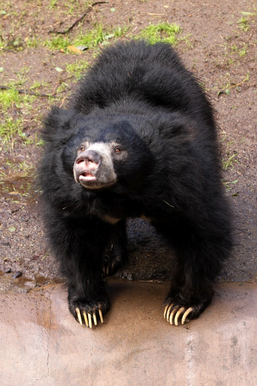 Sloth Bear  Black Bear Animal Legend Photo Picture