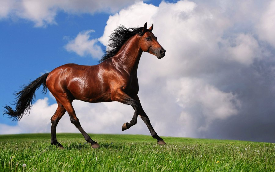 Arabian Horse Wallpapers Pictures Photos Images Free Download