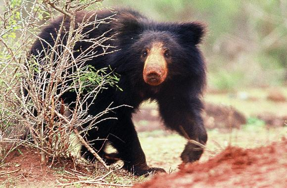 Viewer Sloth Bear Animal Image Picture Gallery Free