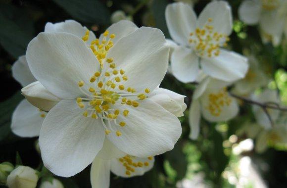 Romantic Flowers Jasmine Flower Meaning Viewer