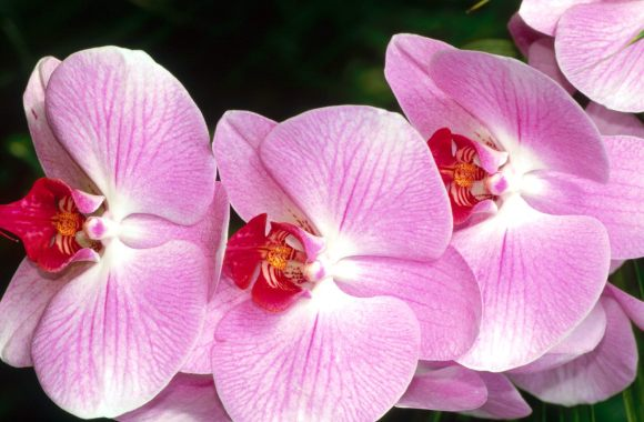 Beautiful Moth Orchids Flowers Wallpaper HD WIdescreen