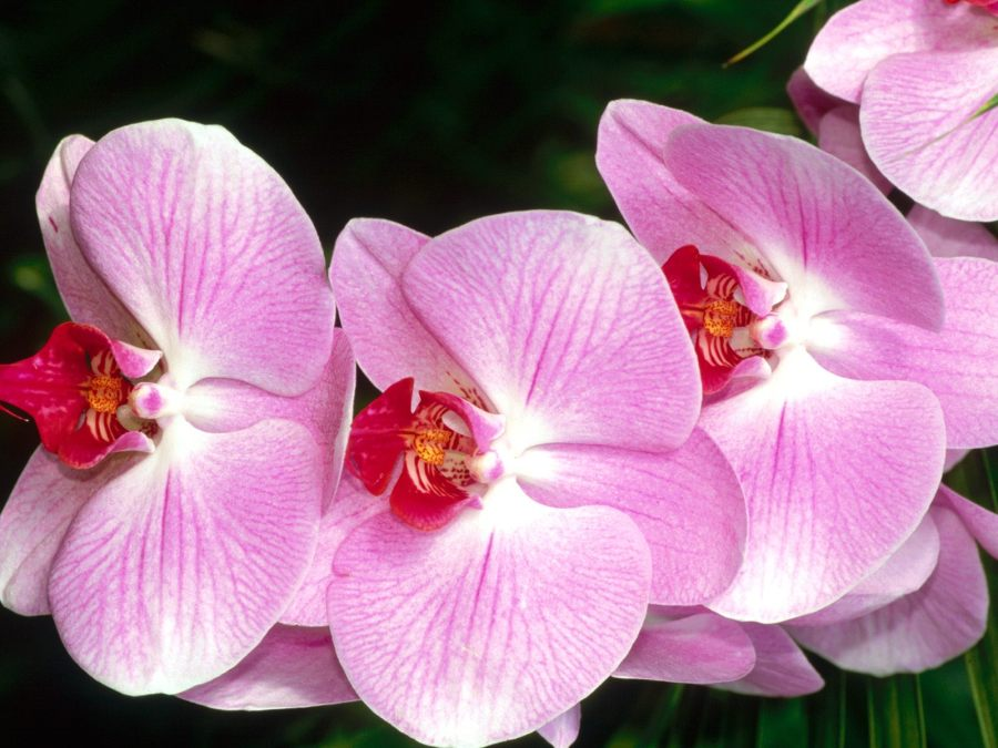 Beautiful Moth Orchids Flowers Wallpaper HD WIdescreen