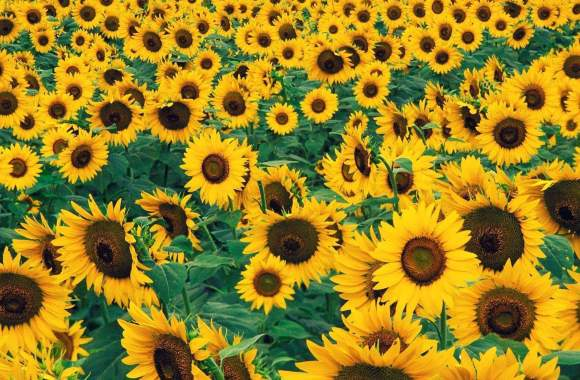 Sunflowers Continue To Provide A Resource For Commonly Used