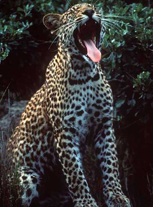 Jaguar Scream Animal Photo Picture At Zoo Free Download