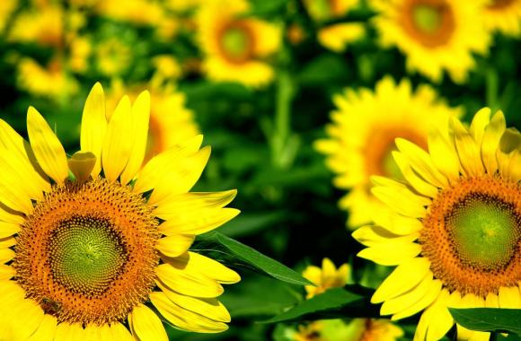 Beautiful Sunflower Pictures Wild Sunflower Photos
