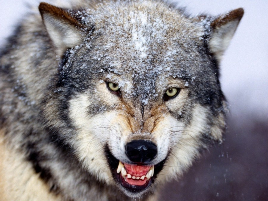 Wolf Animal Predator Pictures Photos HD Wallpapers Collection