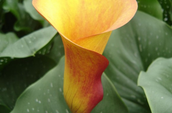 Sunrise Orange Calla Lily Wedding Bouquet Flower Photo Picture