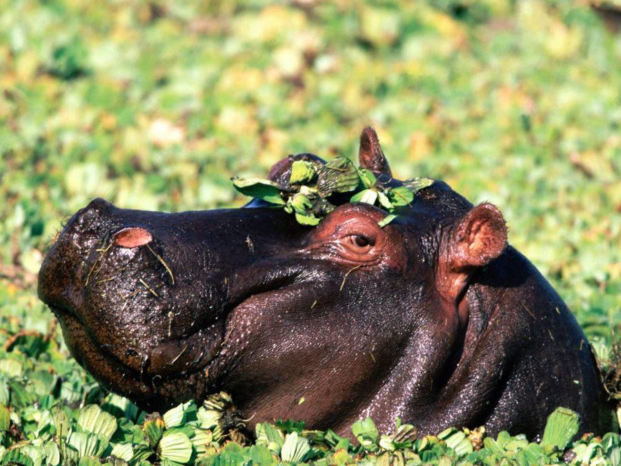 Hippopotamus Animal Predator Photo Picture HD Wallpaper Free Download