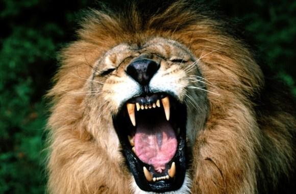 Lion Scream Photo Picture The Animal Kingdom HD Wallpaper Widescreen