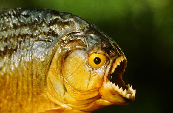 Piranha Fish Animal Photos Pictures Images HD Wallpapers Gallery