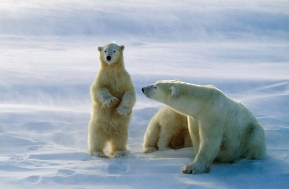 Funny Animal Polar Bears Pictures Photos HD Wallpapers Free