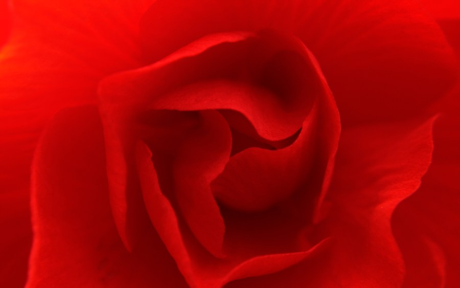 Beautiful Red Rose HD Wallpaper Image For Your PC Desktop