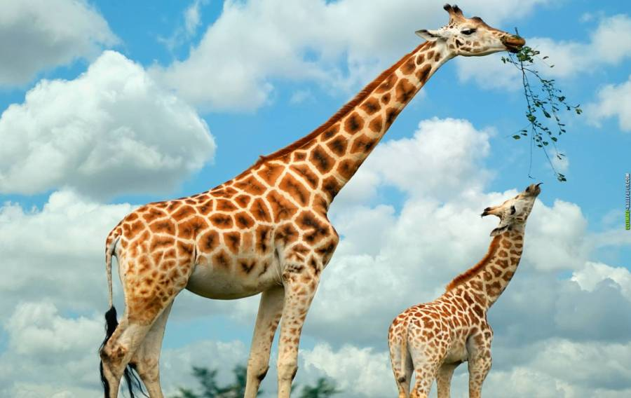 Mother Giraffe with Baby