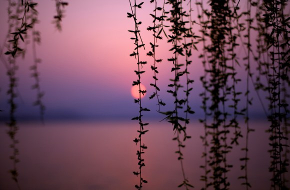Vines Over Lake at Sunset Hd Wallpaper