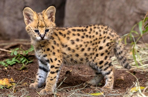African Serval Kitten Five Weeks Old