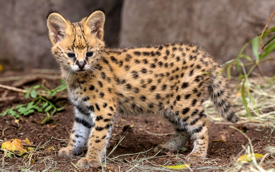 African Serval Kitten Five Weeks Old