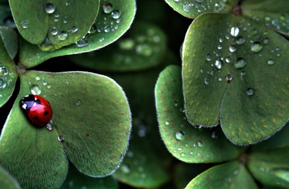 Ladybug and Raindrops on Leaves HD Wallpaper