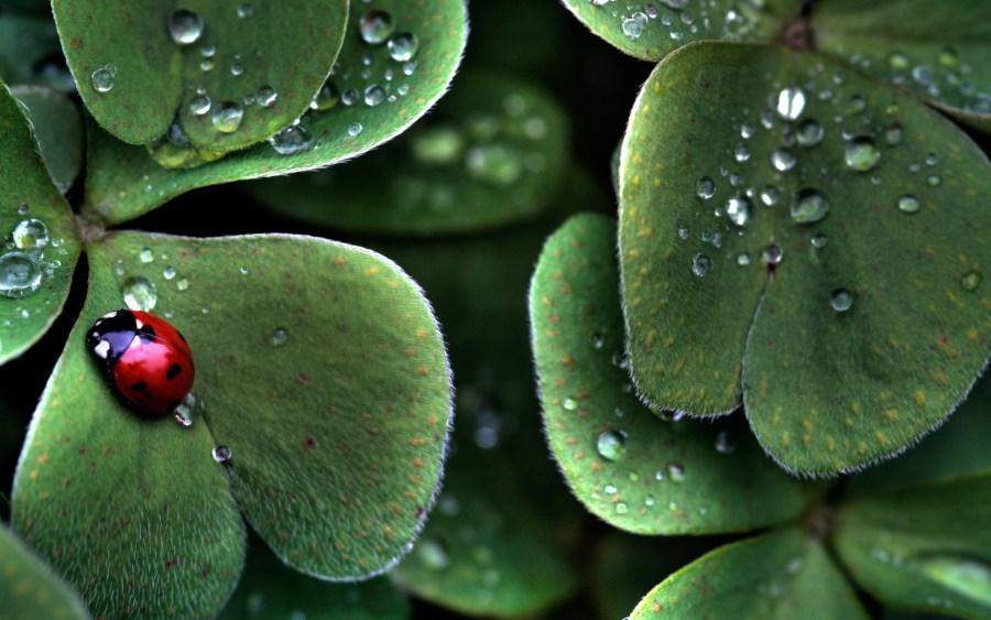 Ladybug and raindrops on leaves