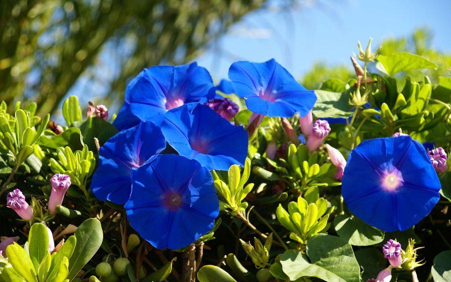 Blue Bell Flowers HD Wallpaper by Wallsev.com