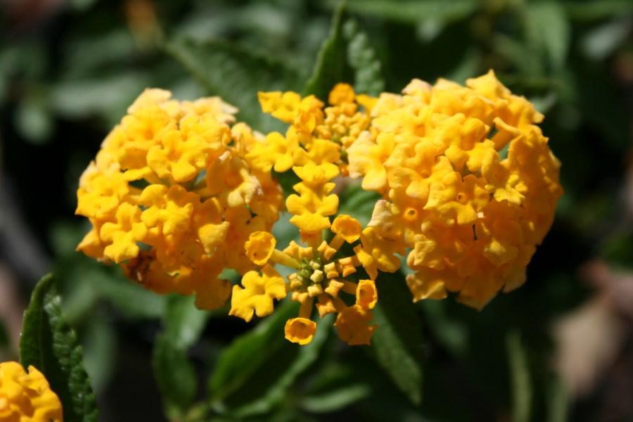 Gold Lantana Flower HD Wallpaper by Wallsev.com