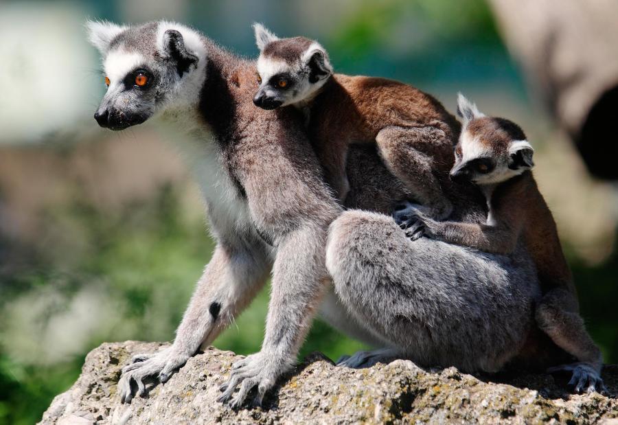 Lemur Family HD Wallpaper by Wallsev.com