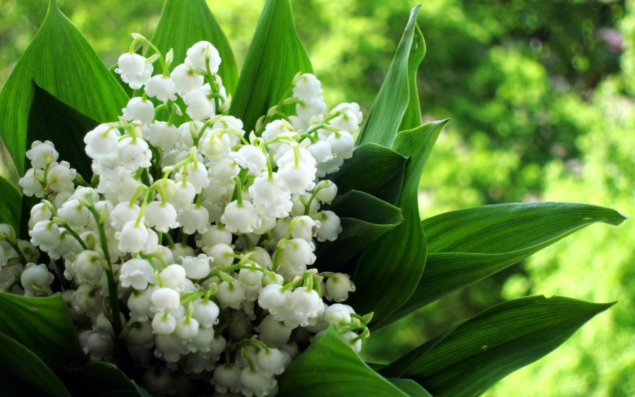 Lily of the Valley HD Wallpaper by Wallsev.com