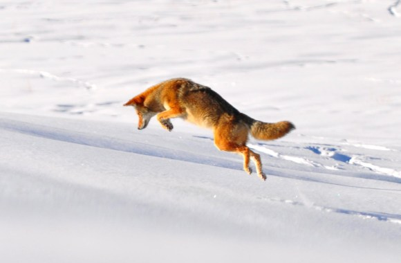 Wolf Running in the Snow HD Wallpaper