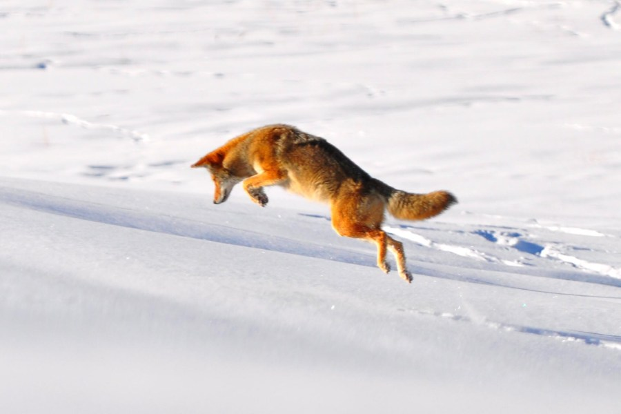 Photo of Wolf Running in the Snow HD Wallpaper by Wallsev.com