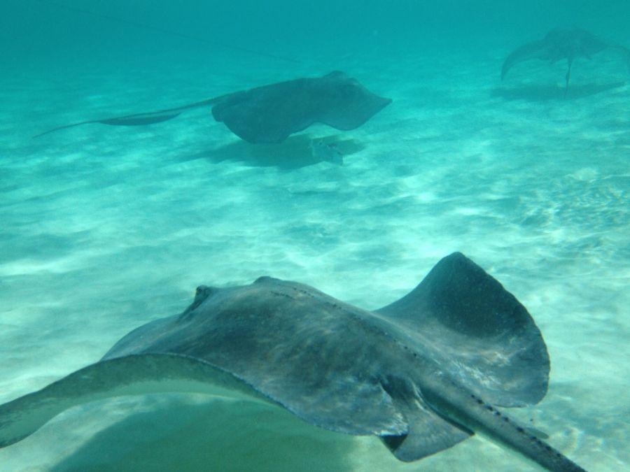 Stingrays off of Grand Cayman HD Wallpaper by Wallsev.com