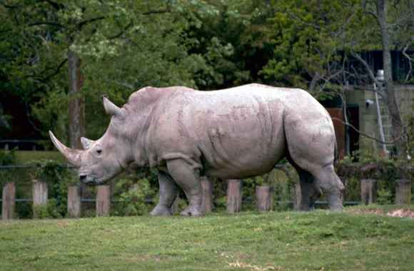 White Rhinoceros HD Wallpaper