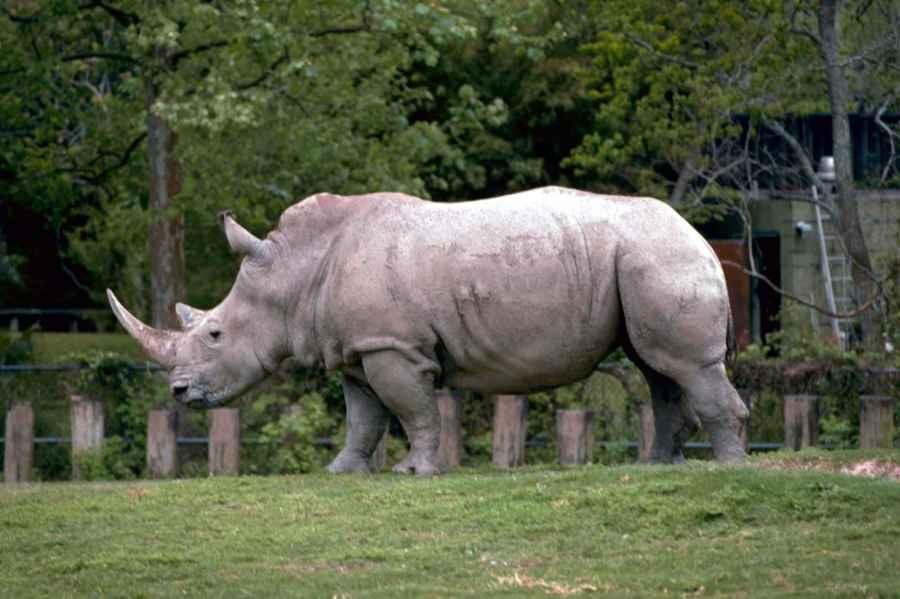 White Rhinoceros HD Wallpaper by Wallsev.com