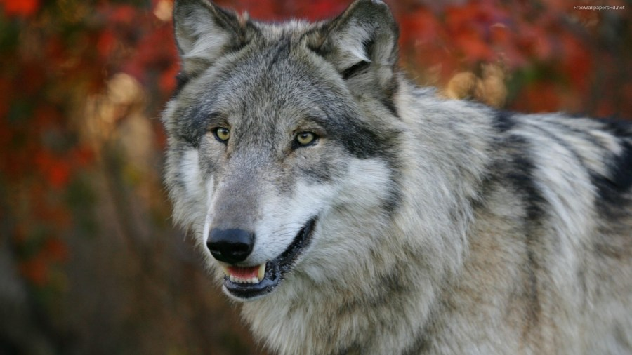 Gray Wolf HD Wallpaper by Wallsev.com