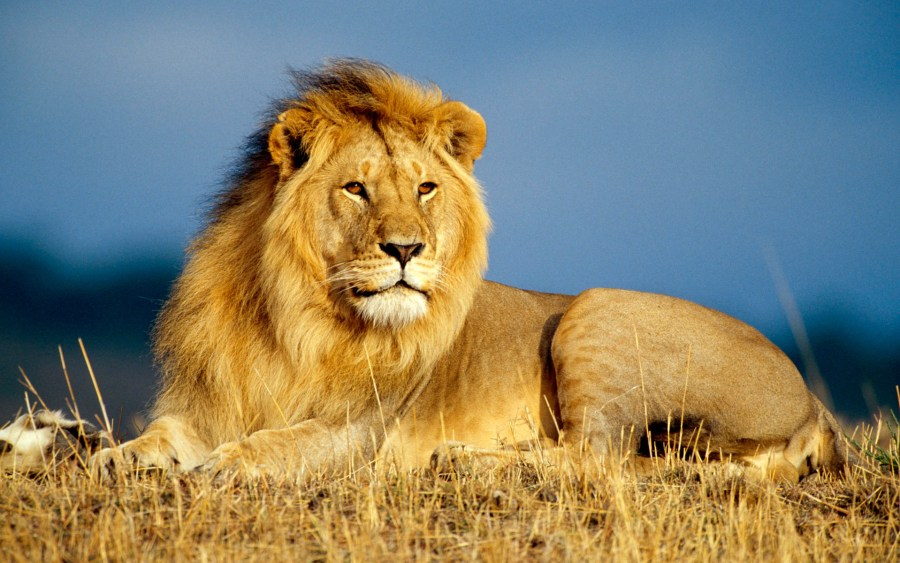 Lion HD Wallpaper by Wallsev.com