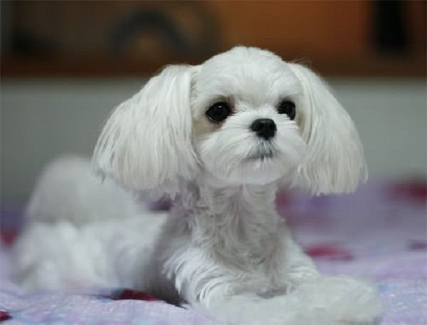 New 25 Best Ideas About Maltese Haircut On Pinterest Maltese Dogs Maltese And Maltese Puppies Ideas With Pictures