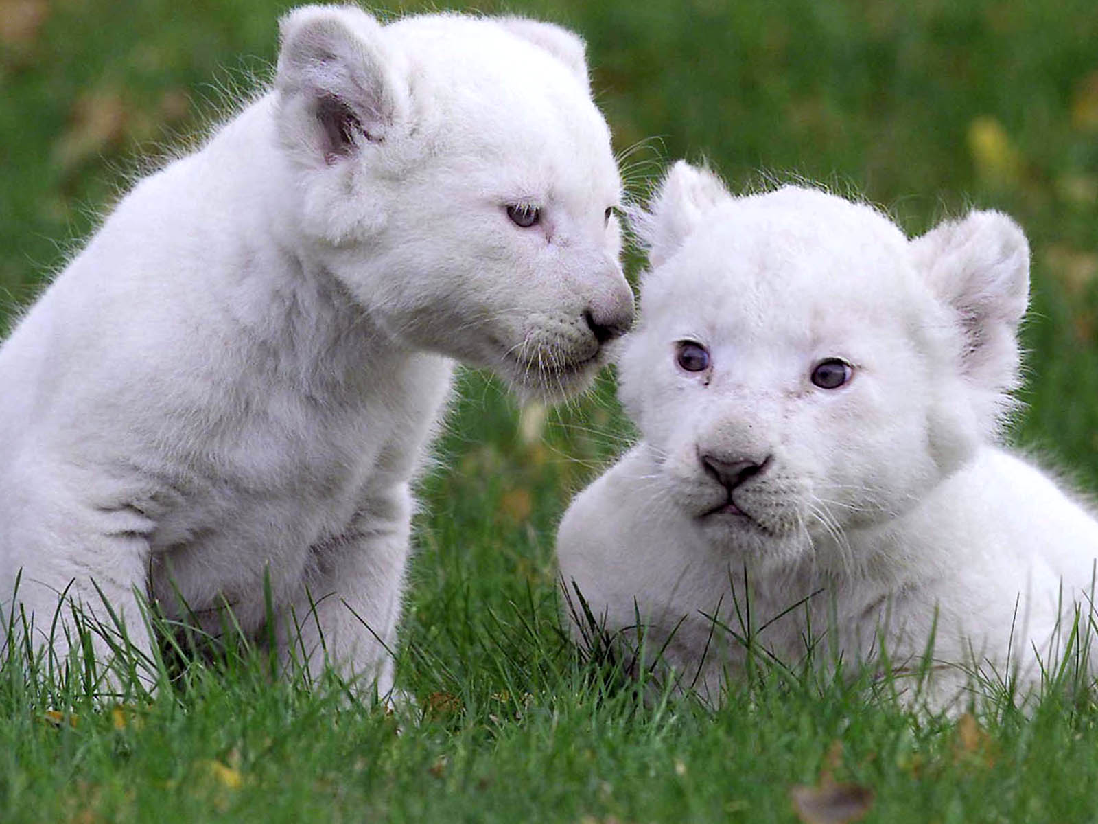 Baby White Lion Funny Wallpapers Hd Desktop And Mobile