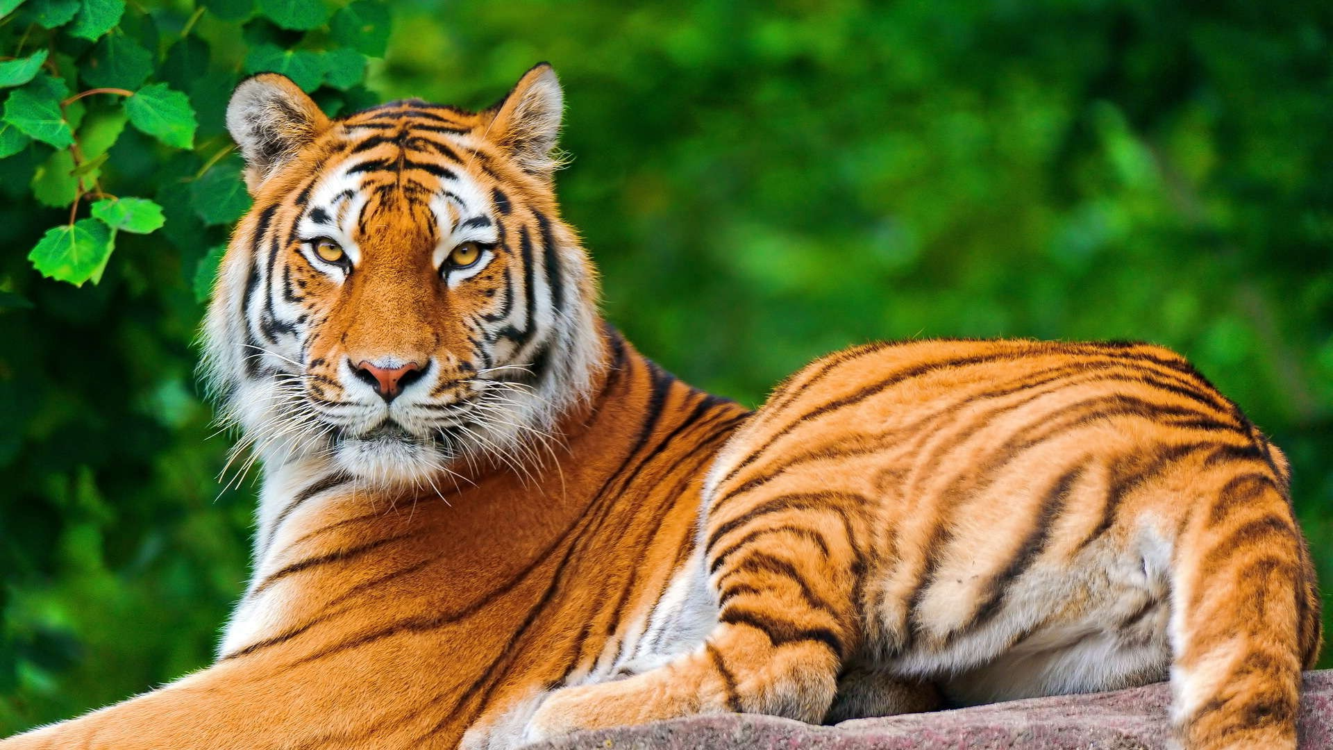 nature, animals, tiger, big cats wallpapers hd / desktop and mobile