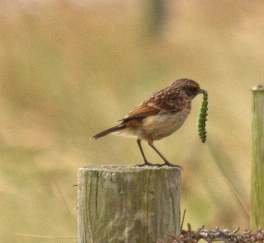 020 juvenile stonechat with caterpillar