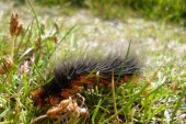 garden tiger moth caterpillar1