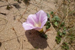 sea bindweed1