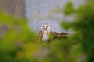 006 Barn Owl at Tower-1