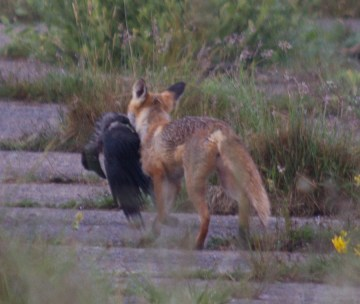 007 fox with carrion crow