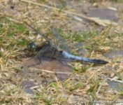 008 Black Tailed Skimmer