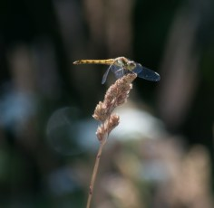 010 Common Darter_edited-1