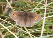 011 Meadow Brown