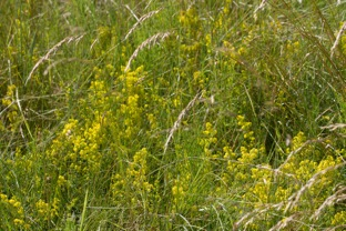 013 Ladys Bedstraw