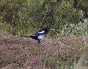 001 Magpie with common toad