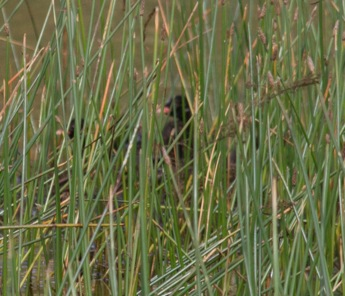 018 Young Little Grebe on nest